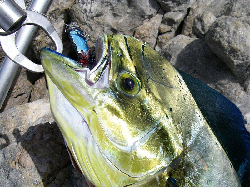 lampuga-pesca-spinning