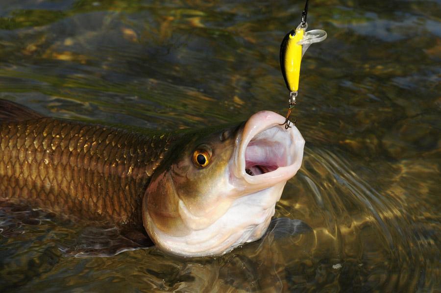 Cavedano-pesca-spinning-minnow