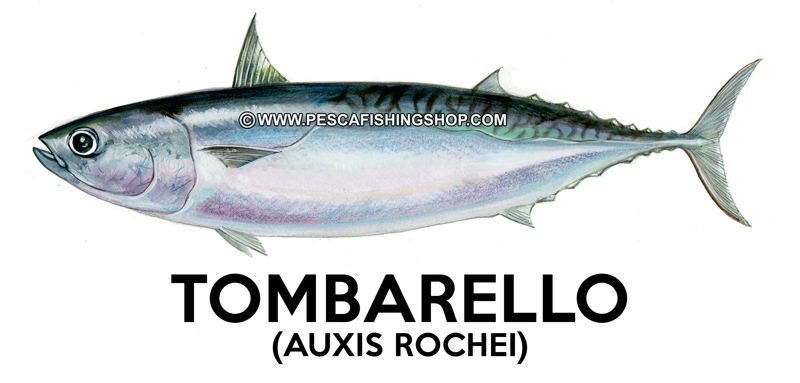 Tombarello-(-Auxis-rochei-rochei-e-Auxis-thazard-thazard