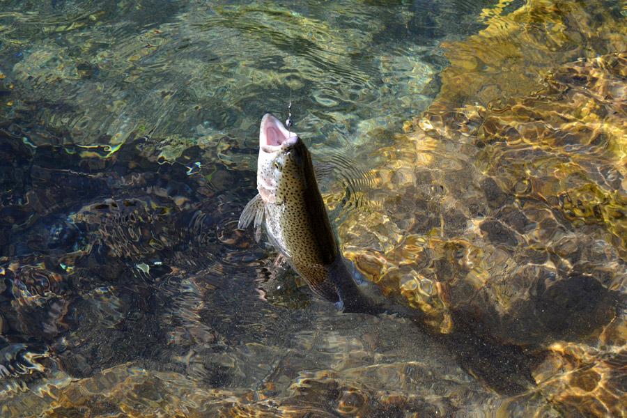 trota-iridea-pescata-spinning