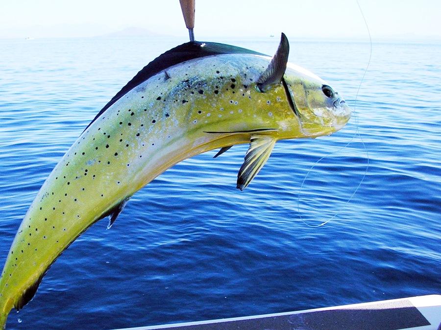pesca traina pesce pescato