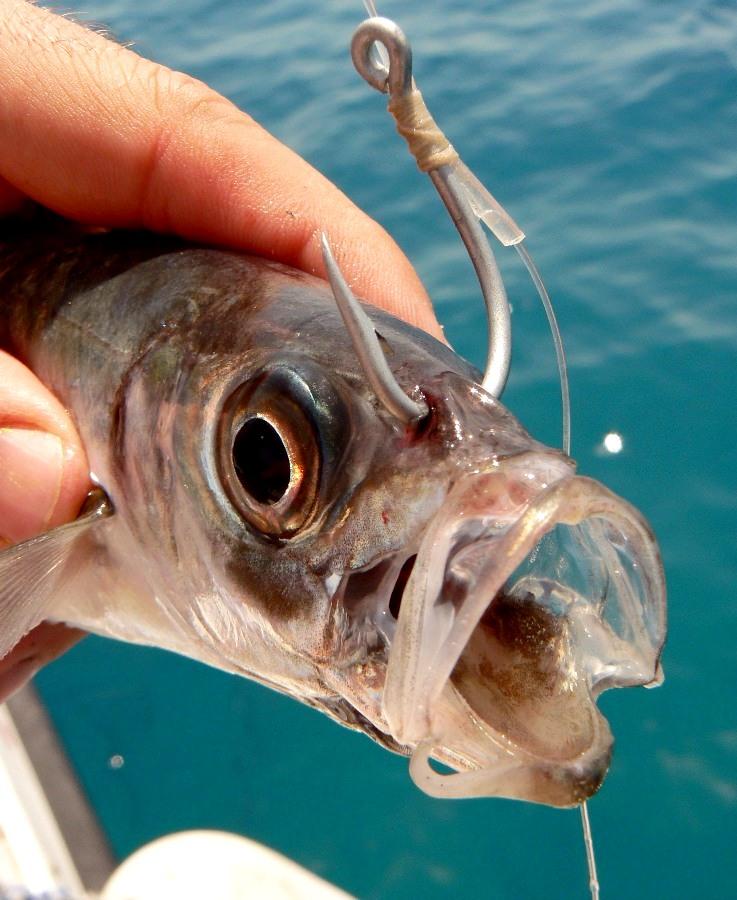 innesco esca viva pesca in mare alla leccia amia
